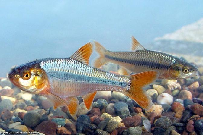 The Topeka shiner is a small minnow (up to 3 inches long) that  inhabits slow-moving, small to mid-size prairie streams with sand, gravel or rubble bottoms.  (Photo courtesy of the Minnesota Department of Natural Resources)