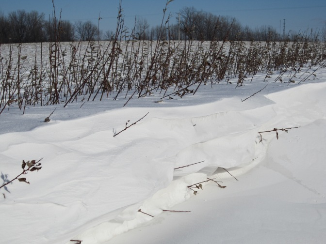 Willow shrubs could be next great Minnesota snow fence