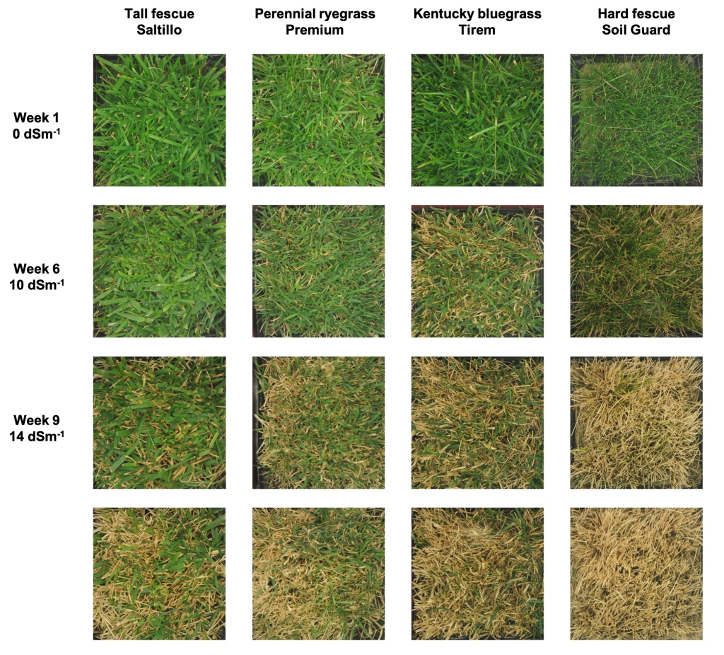 A grid of 16 photographs shows green cover for four turfgrass cultivars: tall fescue, perennial ryegrass, Kentucky bluegrass and hard fescue. Increasing damage from salt exposure is shown for each cultivar after one, six, nine and 12 weeks.
