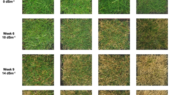 Roadside Turf That Tolerates Salt, Heat and Ice