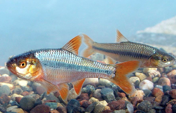 A pair of Topeka shiner fish