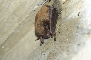 Brown bat on bridge